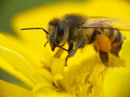 Bee collecting pollen on a yellow flower
