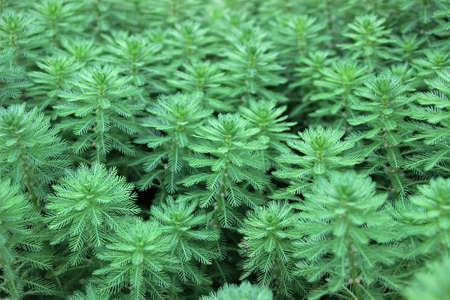 Photo for green Myriophyllum aquaticum plants - Royalty Free Image