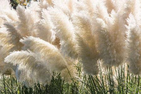 white pampas grass bushes in garden