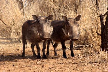 Two Alert Warthogs Standing Under Bushveld Trees