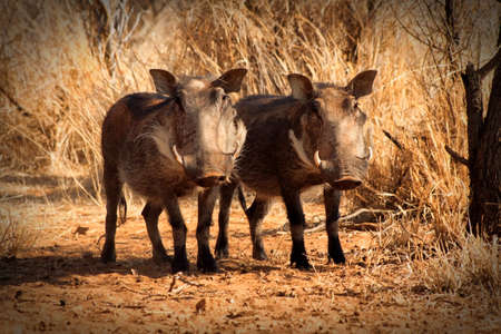 Two Alert Warthog Twins Standing Under Bushveld Trees