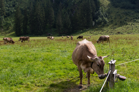 Cows in the alps, next to Oberstdorf in Bavaria