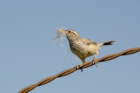 Photo pour Cactus Wren gathering Nesting Material and Perched on Twisted Wire - image libre de droit
