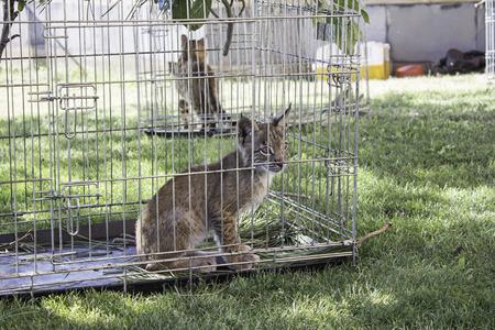 Lynx caged animal on display, nature