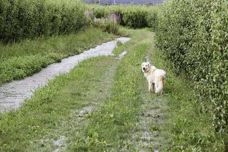 Golden retriever field, animals and nat