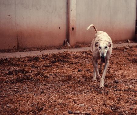 Foto de Greyhound dog playing in park, animals and nature - Imagen libre de derechos