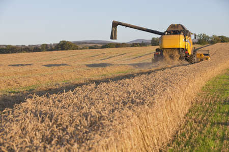 Harvesting combine in the field cropping the grain