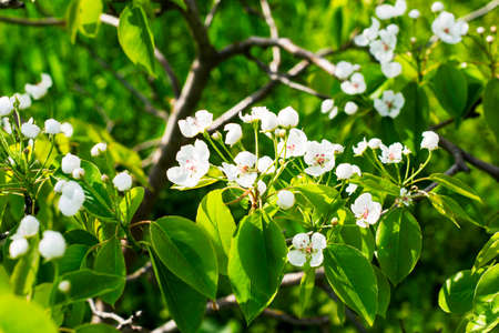 Foto für blooming pear branches on a background of green foliage. High quality photo - Lizenzfreies Bild