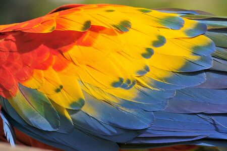 Foto de Close up of colorful Scarlet Macaw (Ara macao) a large red, yellow, and blue South American parrot, Guatemala. - Imagen libre de derechos