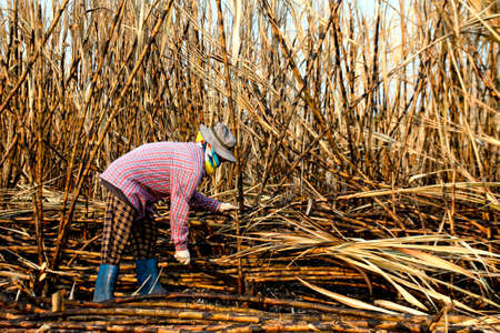 Foto für sugarcane farmers in sugar cane field, worker in burn sugarcane plantation in the harvest season, sugar cane cutting workers in sugarcane fields, burned sugarcane farm - Lizenzfreies Bild