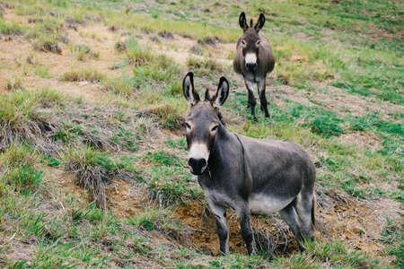 Cute mini donkeys in Texas rural landscape looking at camera close