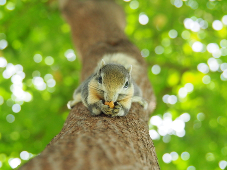 Front face of a squirrel on a tree eating beans. It's small and cute, nimble and smart.