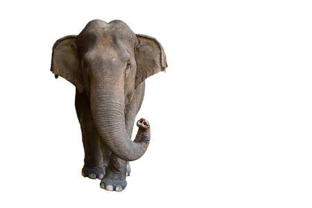 Photo pour Elephant isolated on white background - image libre de droit