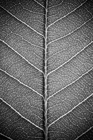 Photo pour leaf texture white black and white effect - image libre de droit