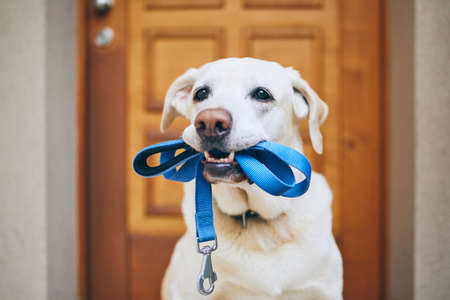 Photo for Dog waiting for walk. Labrador retriever standing with leash in mouth against door of house. - Royalty Free Image