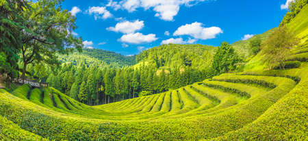 Photo pour Daehandawon Green tea plantation in South Korea - image libre de droit