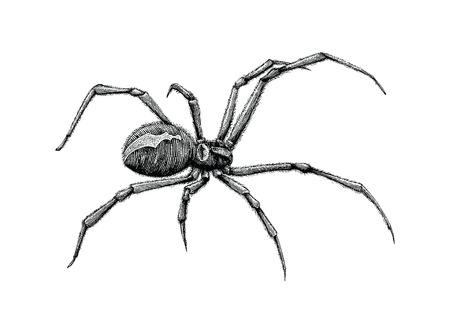 Illustration pour Black widow spider hand drawing - image libre de droit