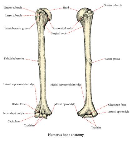 Anatomy of upper human arm bones hand drawing vintage style