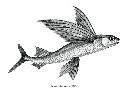Ilustración de Exocoetidae or Flying fish hand drawing vintage engraving illustration - Imagen libre de derechos