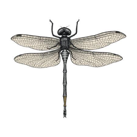 Ilustración de Dragonfly hand drawing vintage engraving illustration - Imagen libre de derechos