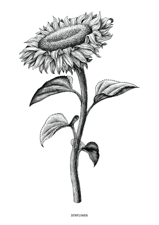 Illustration pour Sunflower hand drawing black and white vintage clip art isolated on white background - image libre de droit