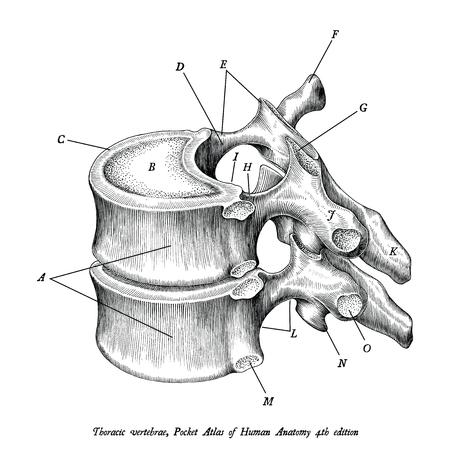 Illustration pour Thoracic vertebrae anatomy vintage illustration clip art isolated on white background with description - image libre de droit