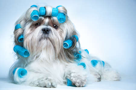 Shih tzu dog with curlersの写真素材