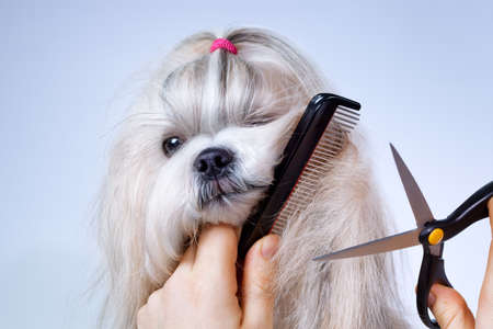Shih tzu dog grooming with comb and scissors