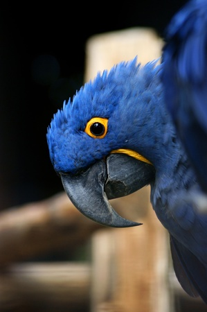 Hyacinth macaw  close up