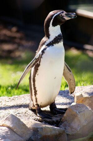 Foto per Humboldt Penguin posing in front of the camera - Immagine Royalty Free