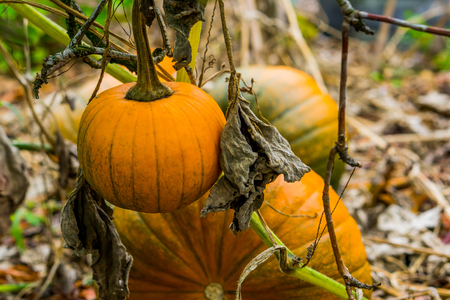 healthy halloween vegetable hanging on the plant with 2 pumpkins in the background organic gardening