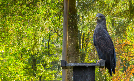 gray sea eagle sitting on a wooden pole, a big bird of prey from Eurasia
