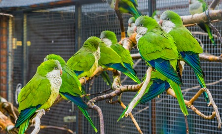 Foto de many monk parakeets sitting together on branches in the aviary, popular pets in aviculture, tropical birds from Argentina - Imagen libre de derechos