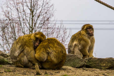 love couple of barbary macaques hugging each other, animal family, endangered animal specie from Africa