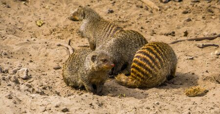 group of banded mongooses together in the sand, tropical animal specie from Africa