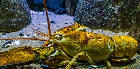 Foto de closeup of a american lobster, tropical crustacean specie from the atlantic ocean - Imagen libre de derechos