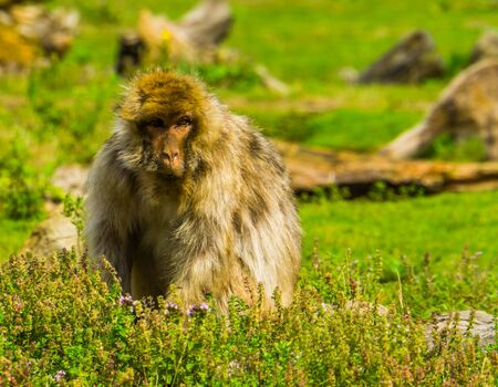 beautiful closeup portrait of a barbary macaque sitting in a grass meadow, tropical monkey, Endangered primate specie from Africa