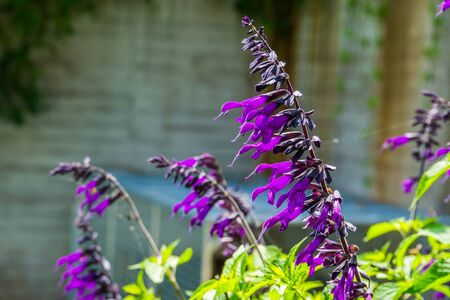 Salvia amistad, sage cultivar specie from Europe, herbaceous plant specie