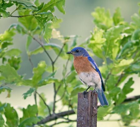 Eastern bluebird perched on a fence post