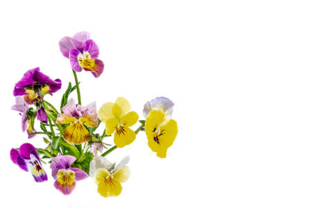 Photo for Pansies Violets flowers it is isolated on a white background:Field pansies Viola arvensis is species of violet - Royalty Free Image
