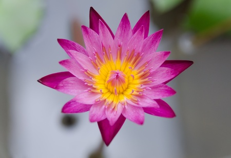 close up violet  lotus