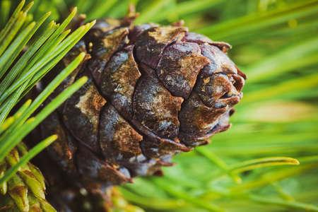 Foto de Cone with nut of dwarf stone pine (Pinus Pumila). Close up natural floral background, Christmas mood. Vintage instant color photo effect, colorful picture with toned filter. - Imagen libre de derechos