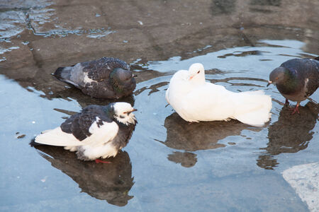 bathing pigeon with white pigeon in the center
