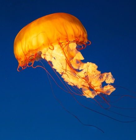 Colorful and glowing sea nettle jellyfish swimming in the dep blue sea