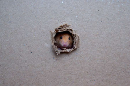 Photo for Little rat gnawed a hole in the box - Royalty Free Image