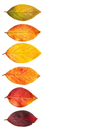 Photo pour Autumnal leaves isolated on a white background. - image libre de droit