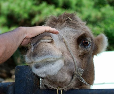 Male hand stroking head of the camel.