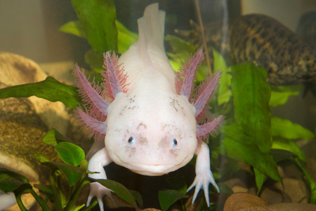 Photo for Underwater Axolotl portrait close up in an aquarium. Mexican walking fish. Ambystoma mexicanum. - Royalty Free Image
