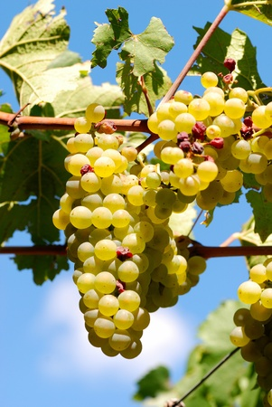 cluster of white grape at the vineyard.
