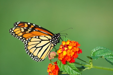Photo pour A beautiful Monarch Butterfly feeding on a Lantana bloom, horizontal with background space - image libre de droit